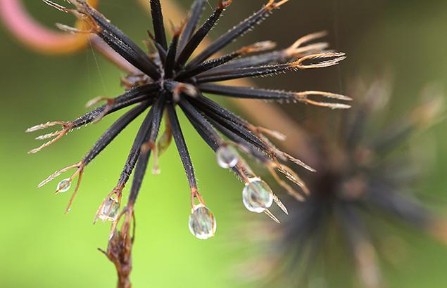 「そう果」の先端には2~4本の逆棘のある芒があり、これが動物の毛などにからまって、種子を散布し、分布を拡大する。
