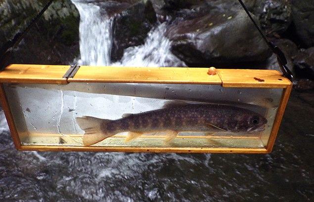 Sさんが釣った元気なイワナ。リリースボックスの中でも反転を繰り返す(23cm)